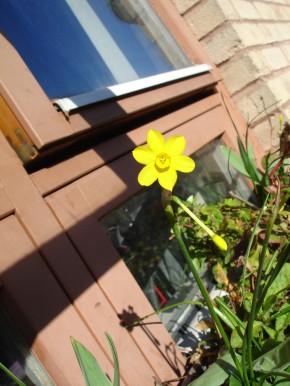 miniature daffodil